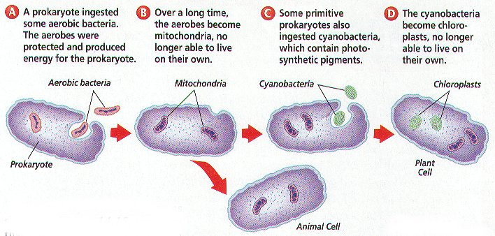 the theory of endosymbiosis and the arguments for and against this theory